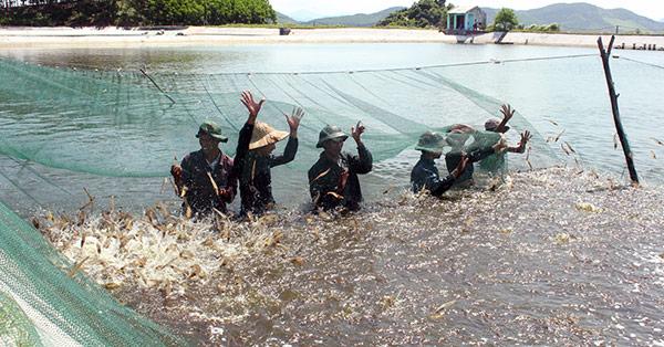 Nghề nuôi tôm theo hướng bền vững (Bình Minh - Tổng hợp)